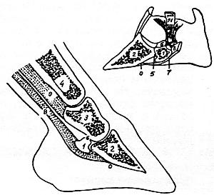 Венечный сустав картинка аппараты при заболевании суставов отзывы