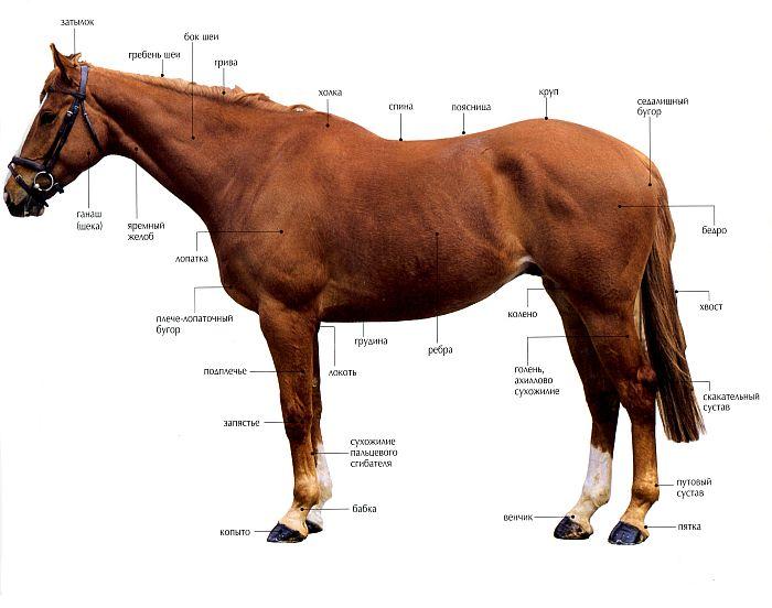 Порок скакательного сустава лошади как лечить суставы предплечья.массаж