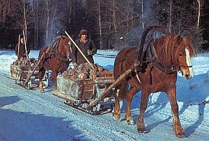 Как приучить молодую рабочую лошадь к упряжи - ошибки Sani5003